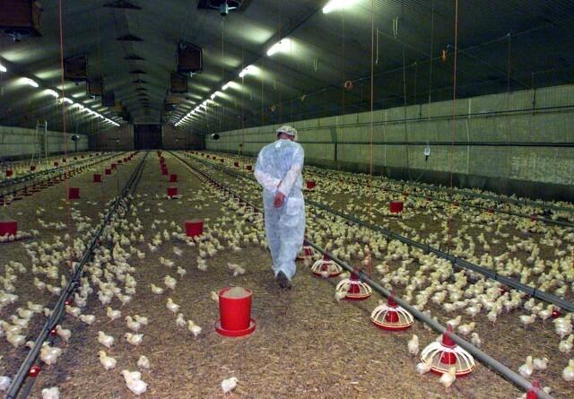 Fjerkræproducenter er glade for fald i antibiotikaforbrug