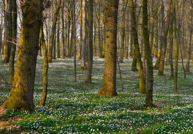 Historisk stor udlægning af urørt skov