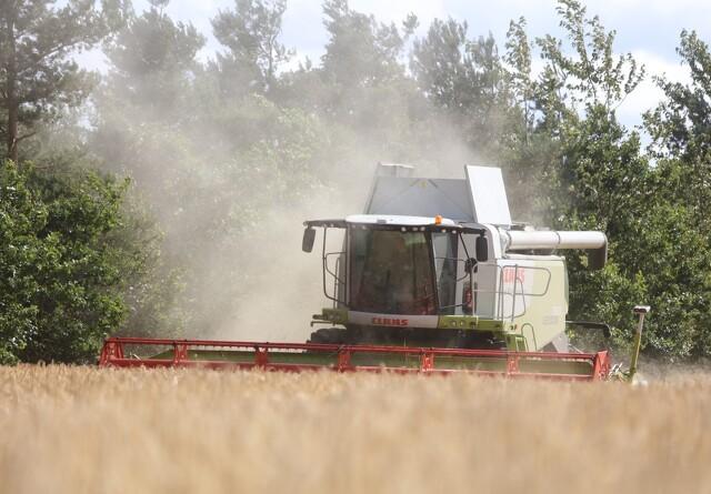 Høst af hvede i marts
