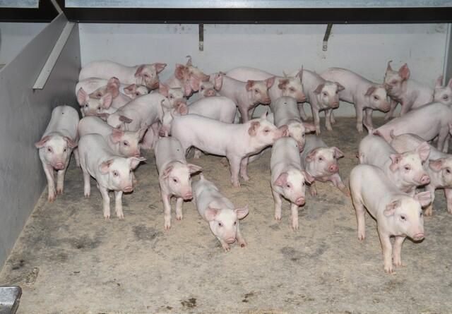 Jerntilskud til grise er fuld af farlige tungmetaller
