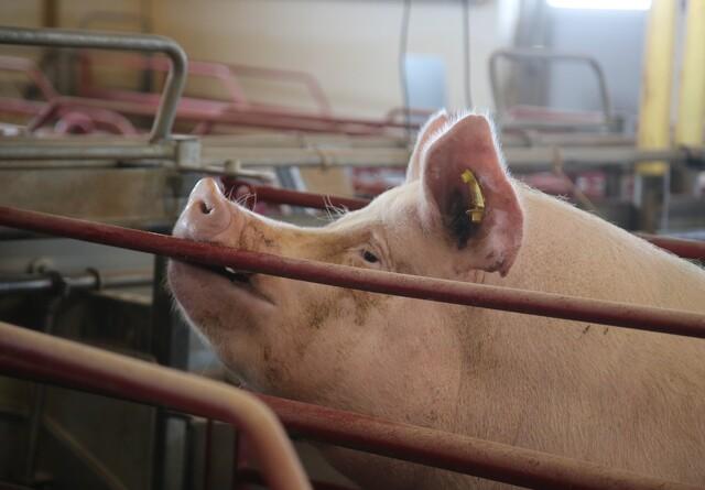 Medie afslører: Svineproducent vil på børsen