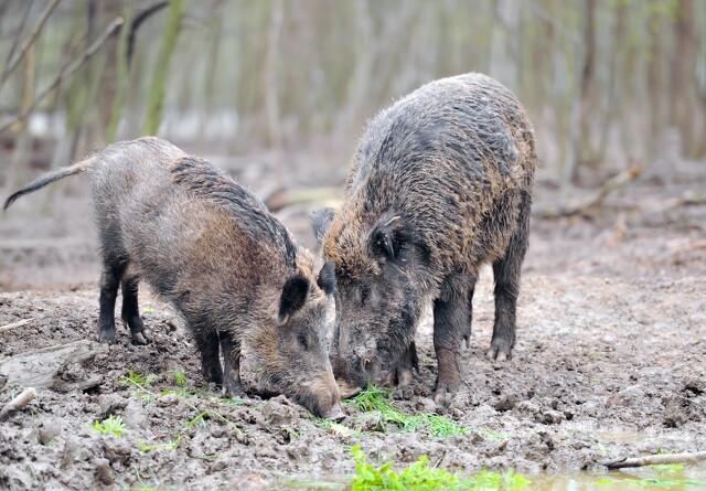 I kamp mod svinepest: 35 vildsvin skudt