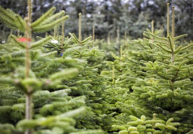 Tørke koster 12 mio for juletræsproducenter