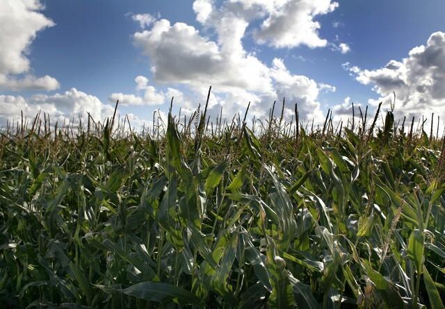 Kvægrådgiver: Vent med at afgøre majsmarkens skæbne til august