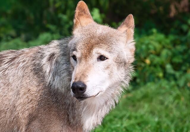 Endnu en danskfødt ulv er vandret til Tyskland