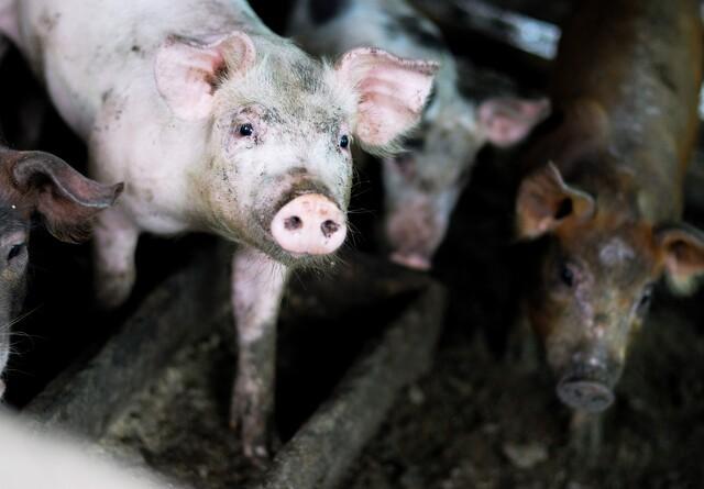 Dansk bedrift i Litauen ramt af svinepest