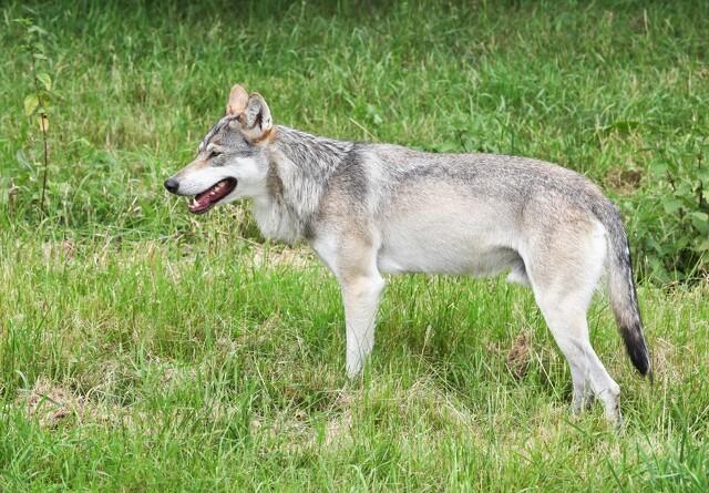 66-årig tiltalt for at skyde en ulv