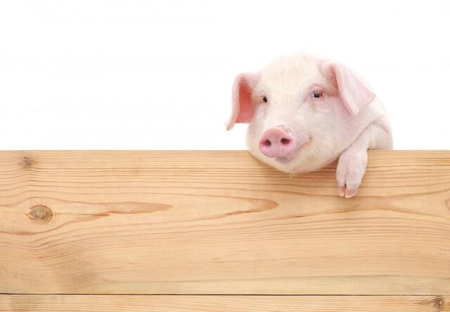 Danish Pig Academy får besøg fra Kina