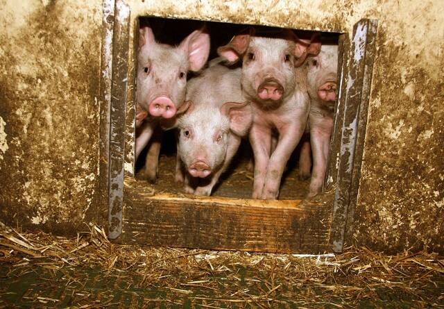 Det bør du vide om afrikansk svinepest
