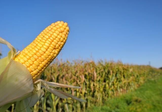 USA-rapport forudser årets høst og udbytter