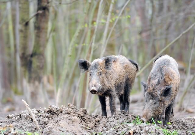 Belgien vil aflive alle tamsvin i svinepest-zone