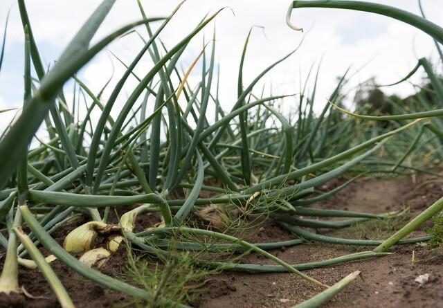 Dansk frugt og grønt har færrest pesticidrester
