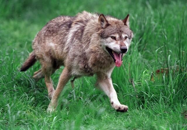Formodet ulv bed mand i Tyskland