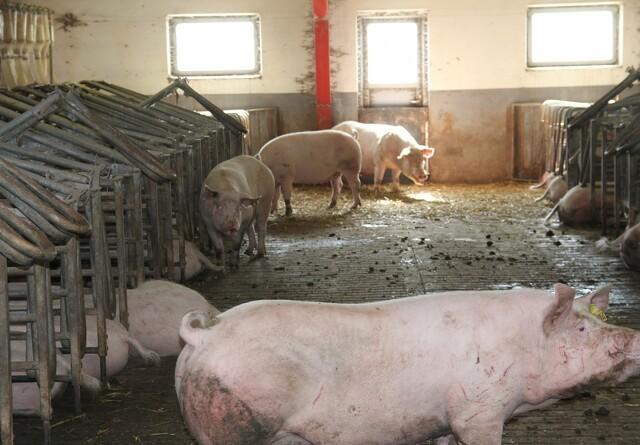 Ny teknologi reducerer gener i svinestalde