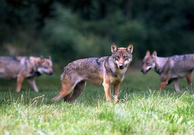 Vestjyde der skød ulven står frem