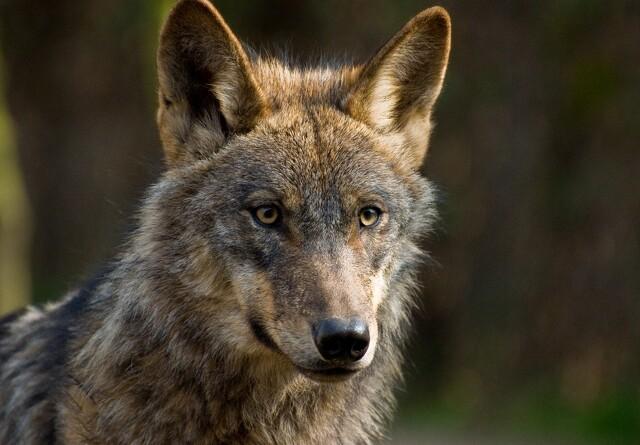 Retssag om ulvedrab er udsat