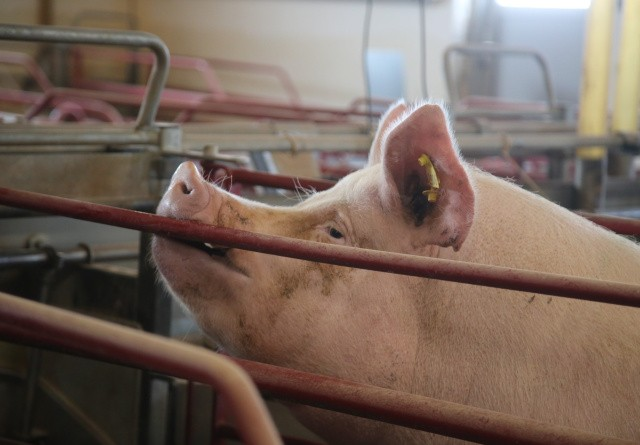 Kommunikation kan reducere antibiotikaforbrug hos svin