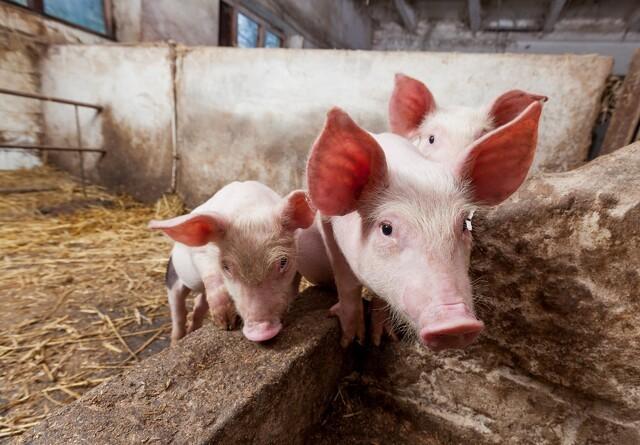 Danmarks bedste griseavlere er fra Sønderjylland