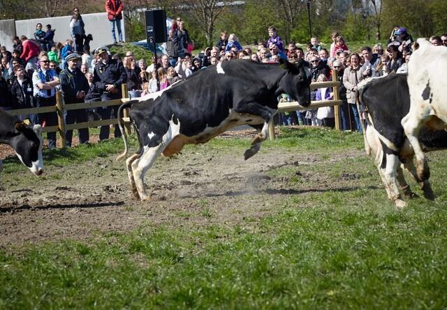 Øko-køer slipper fri på søndag