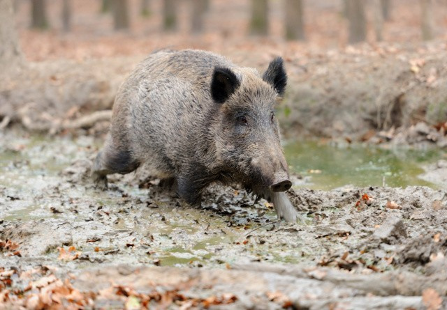 Flensborg kan forpurre del af vildsvinehegn