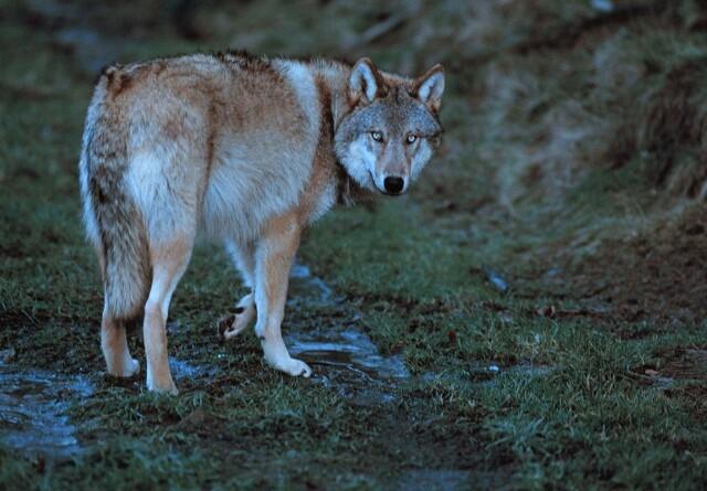 Æsler og lamaer kan beskytte mod ulveangreb