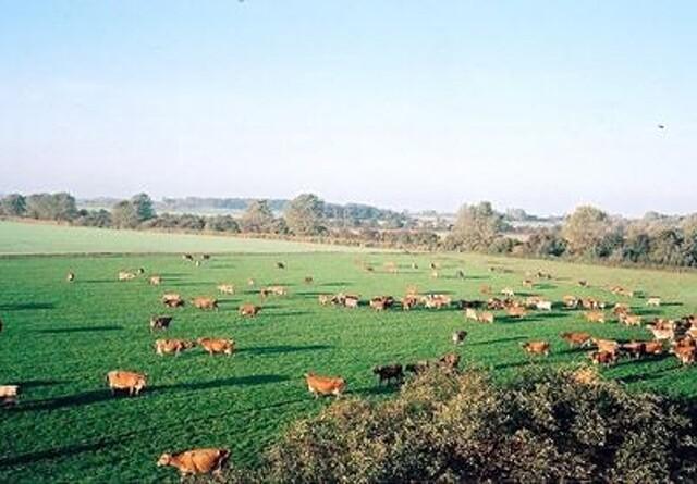 Tænketank lukker øko-køer på græs