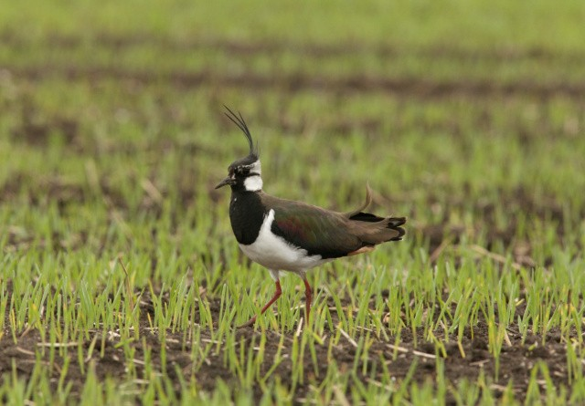 Fugleelskere og landmænd går sammen om at hjælpe viben