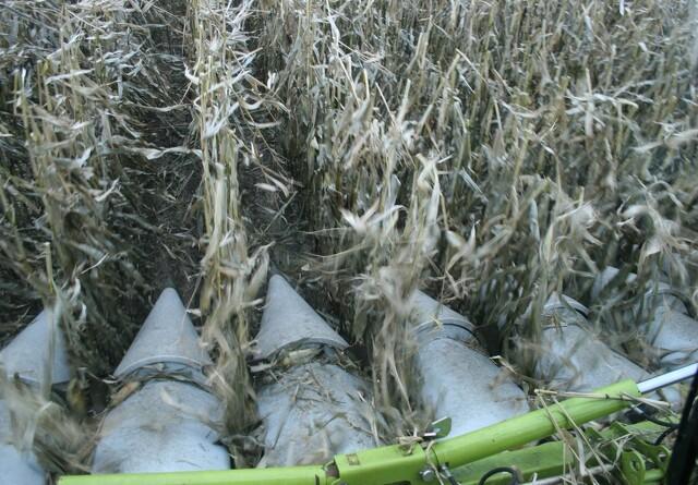 GMO-majs skader ikke rotter