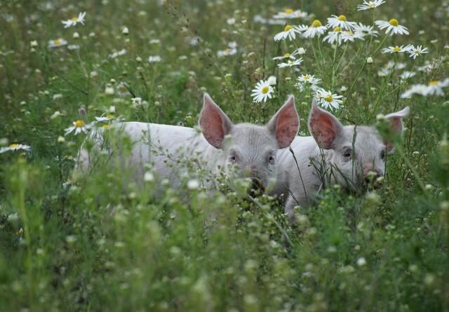 Danske Svineproducenter: Bliv klogere på bæredygtighed