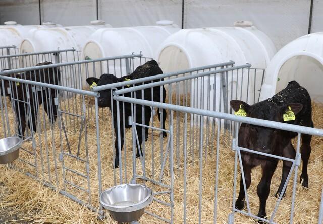 Presset økonomi medfører øget eksport af spædkalve