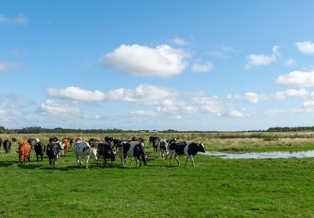 Kvægbrug i klemme i fredning af Varde Ådal