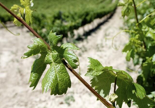 Danske vinproducenter får mere tid i marken