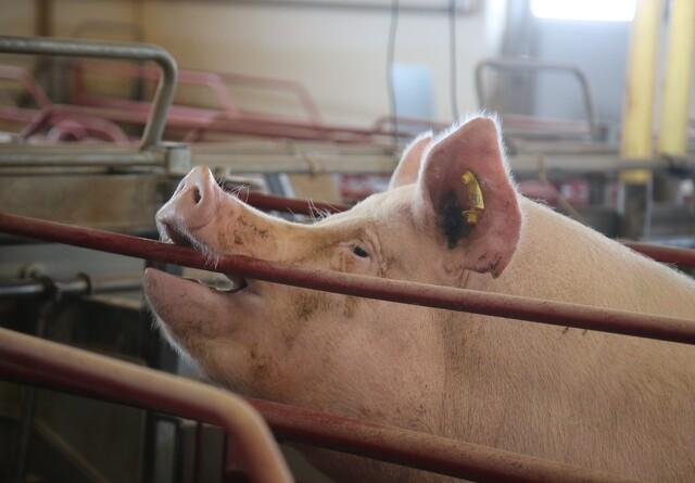 USA skal lære om dansk håndtering af svinepest