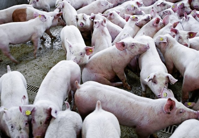 Svinepest kan blive redningen for kriseramte landmænd