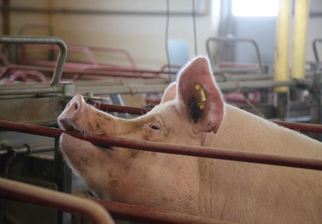 Prisen på svin stiger igen