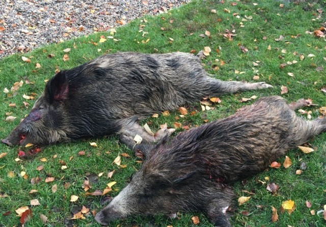 Belgien: De vilde svin skal skydes
