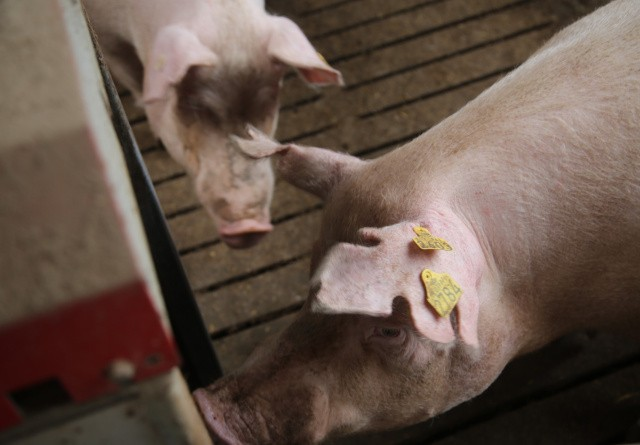 Endnu en stigning i prisen på svin