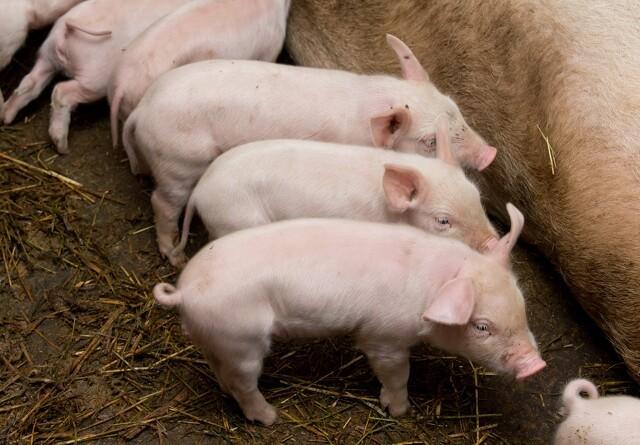 LMO: Pas på likviditeten, selvom svineprisen stiger