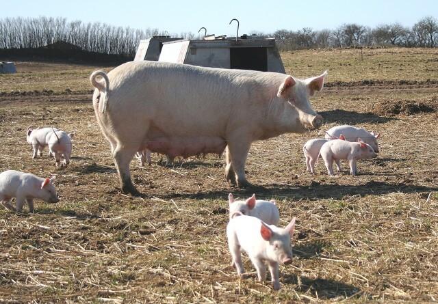 Dansk græs kan erstatte soja på grisenes menu
