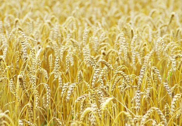 Jyske Markets: Høstvejr tog pusten af hvedemarkedet
