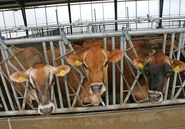 Bøde for at slagte højdrægtig ko