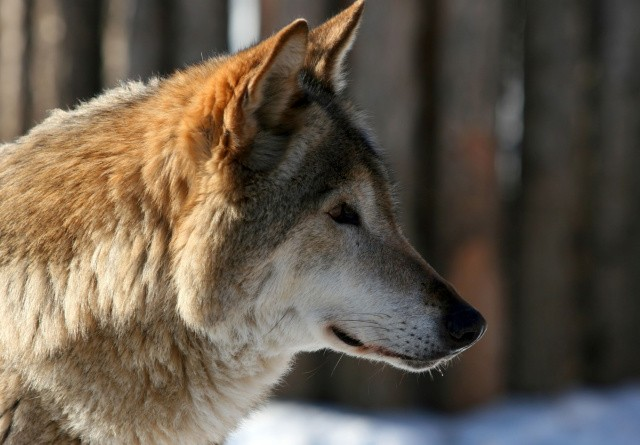 Minister vil bygge bro mellem ulvemodstandere og ulveforkæmpere