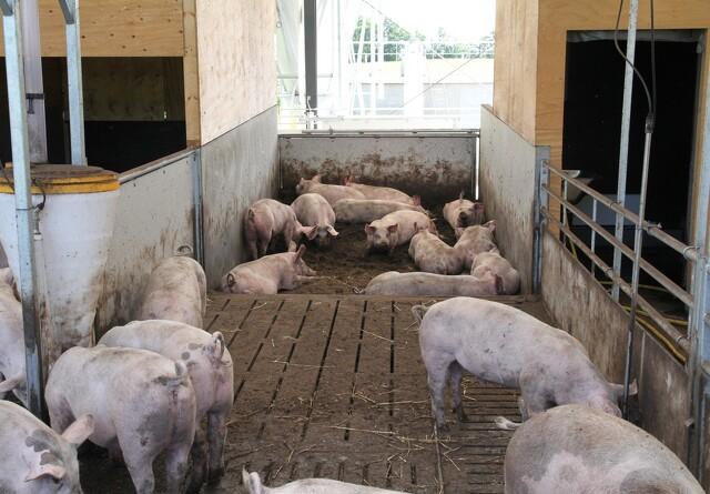 ASF svinepest udfordrer fortsat