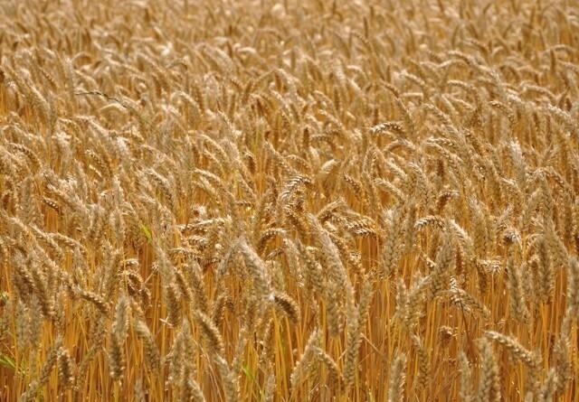 Jyske Markets: Nedjusterede forventninger til russiske hvedeudbytter