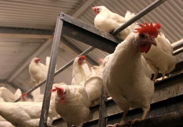 Fjerkræproducenter bruger mindre antibiotika