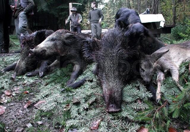 Afrikansk svinepest har ramt Slovakiet