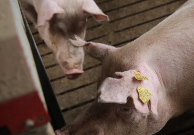 Prisen på slagtesvin er igen uændret