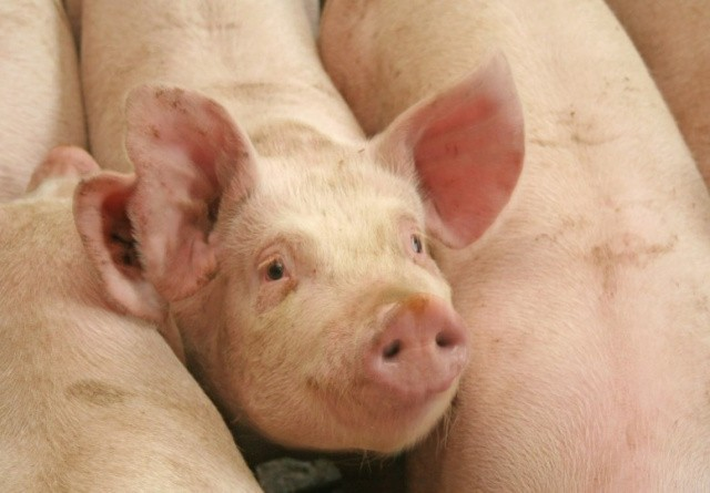 Prisen på svin stiger