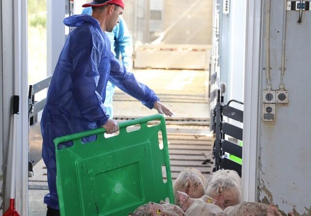 Krisemøde hos svineeksportører