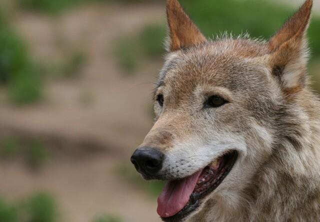 Dom i ulvesag: Den dømte mister retten til jagt